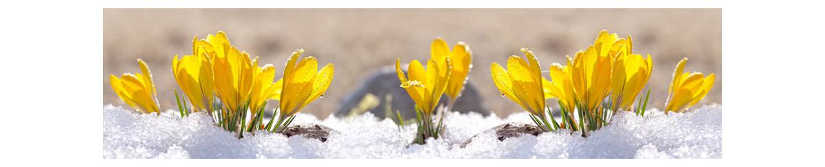 Yellow flowers blooming out of snow