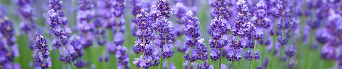 Growing a Lavender Farm with Weather Monitoring Tools