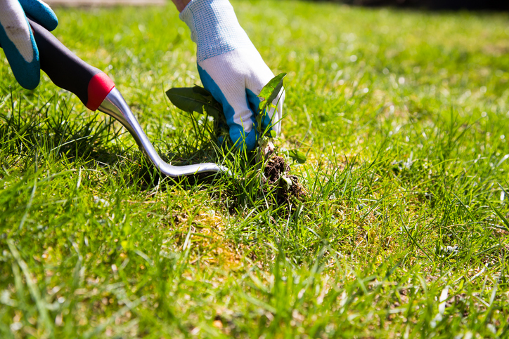 Pulling Weeds Lawn Care Tips