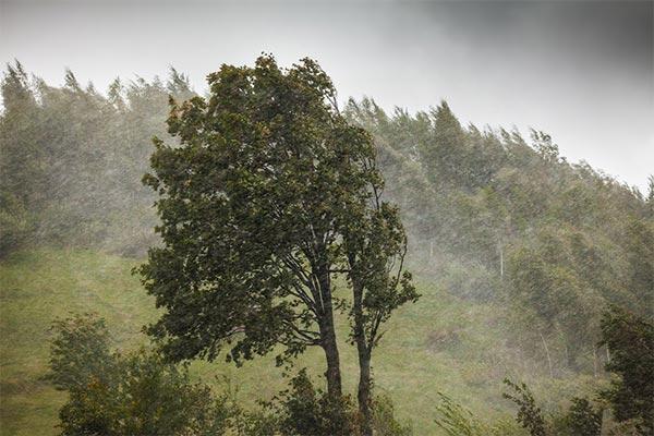 Tree Blowing in Wind Storm
